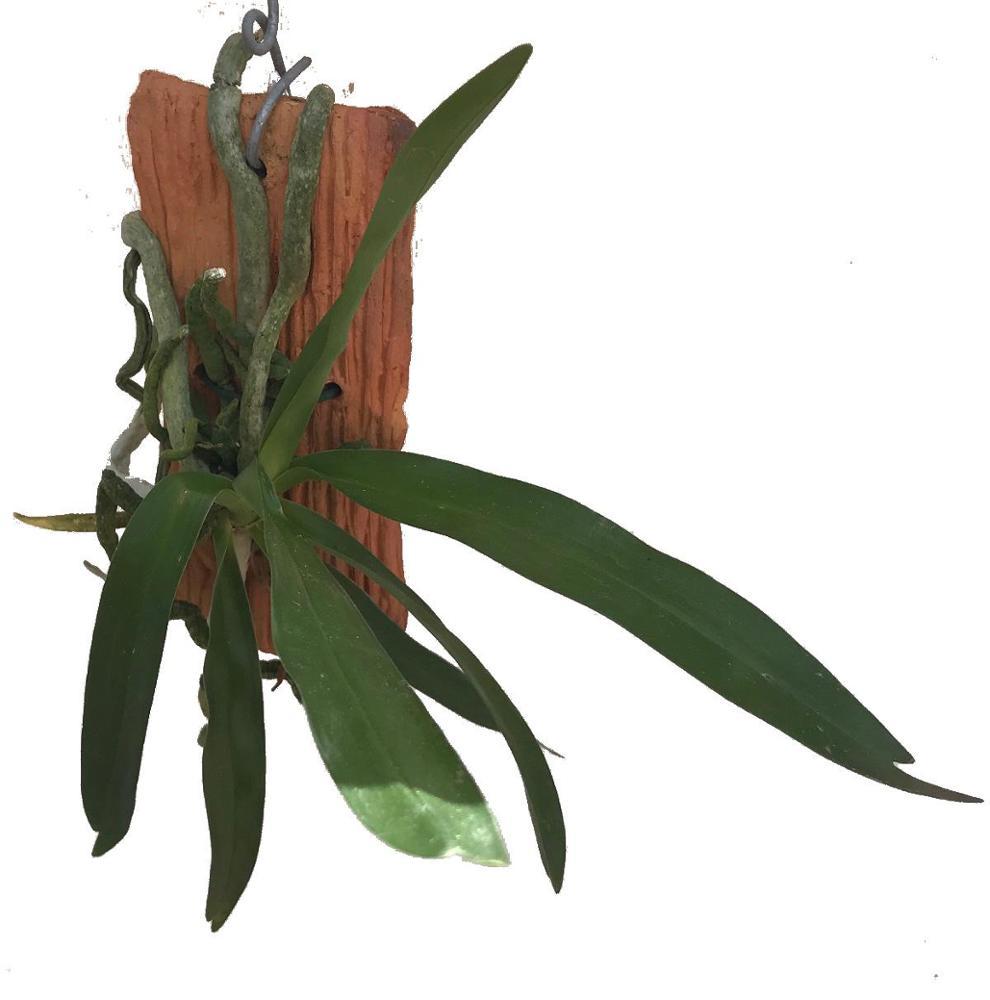 Plectrelminthus caudatus