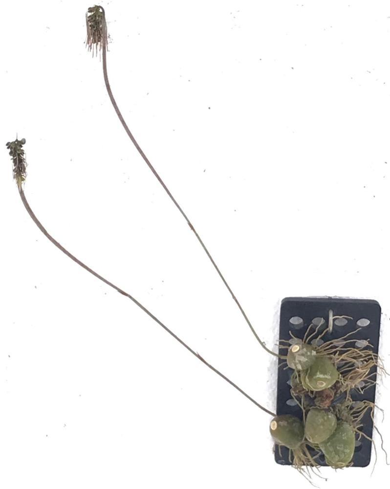 Bulbophyllum lemniscatoides