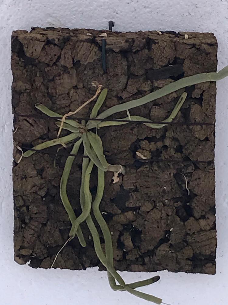 Chiloschista usneoides