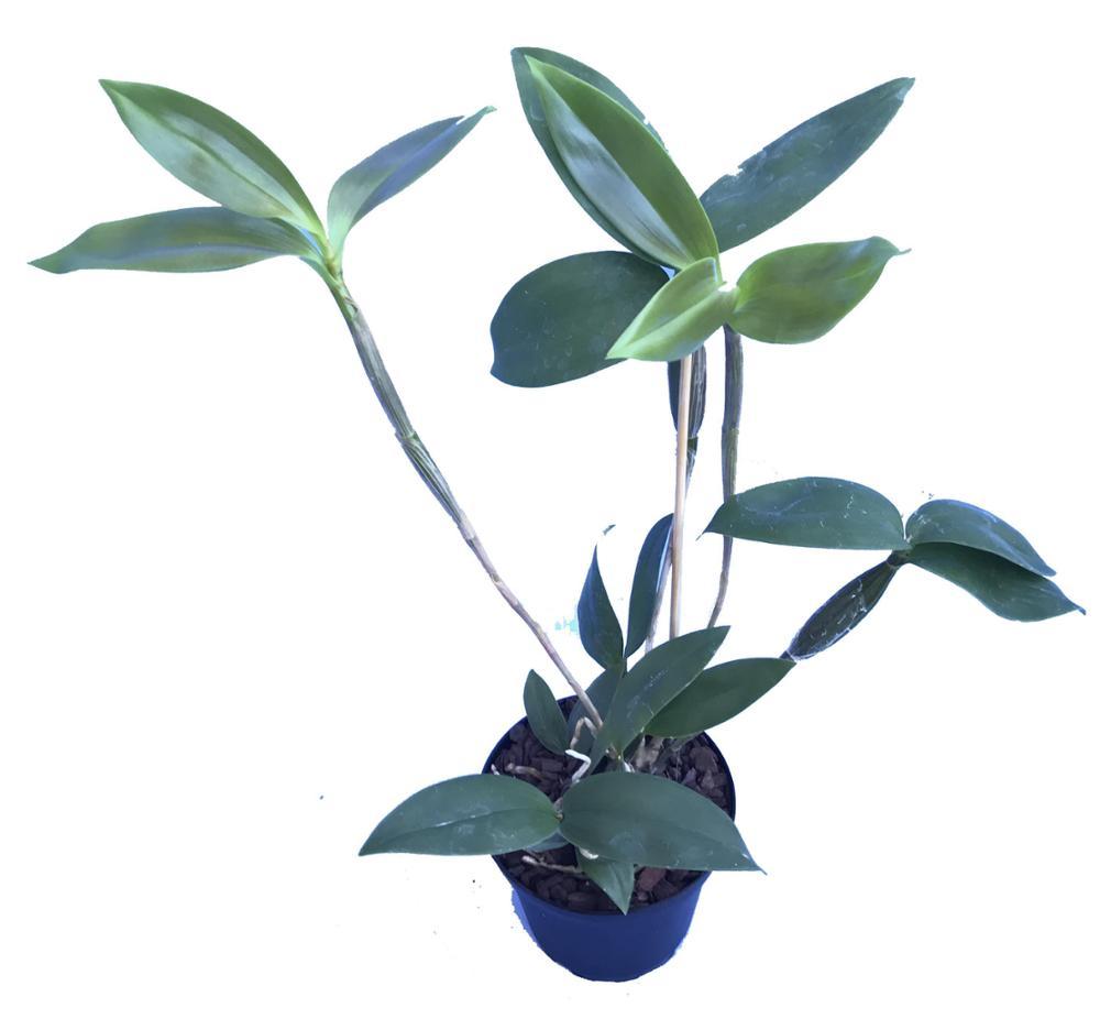 Dendrobium aberrans x biloculare