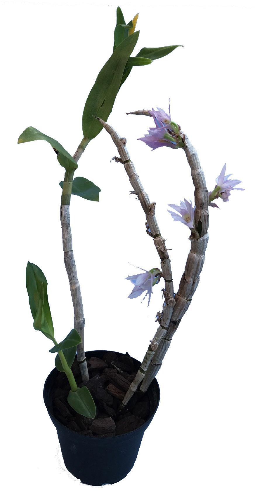 Dendrobium victoria reginae x bracteosum White