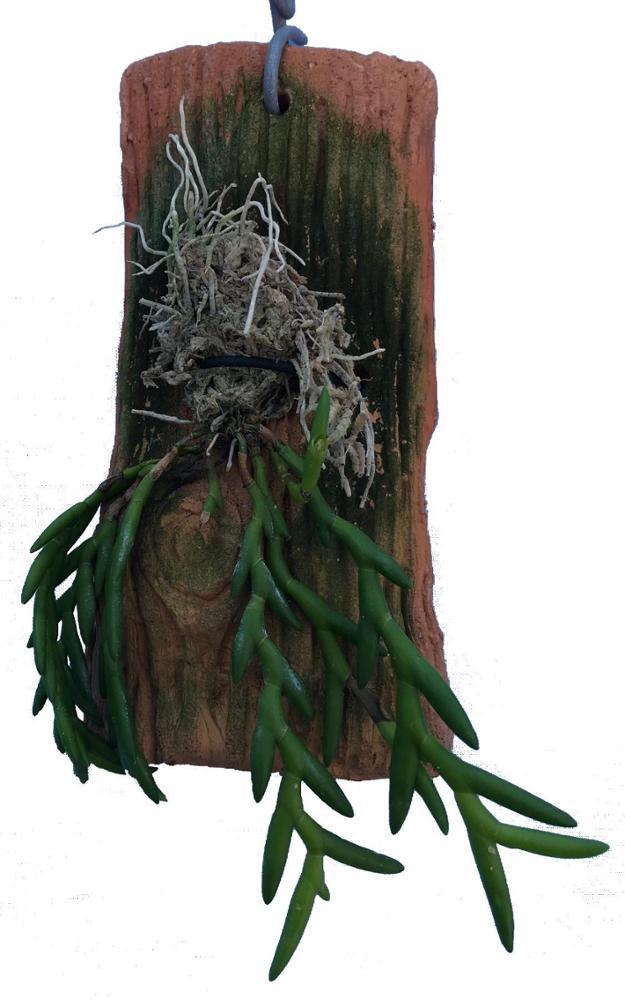 Dendrobium bilobulatum
