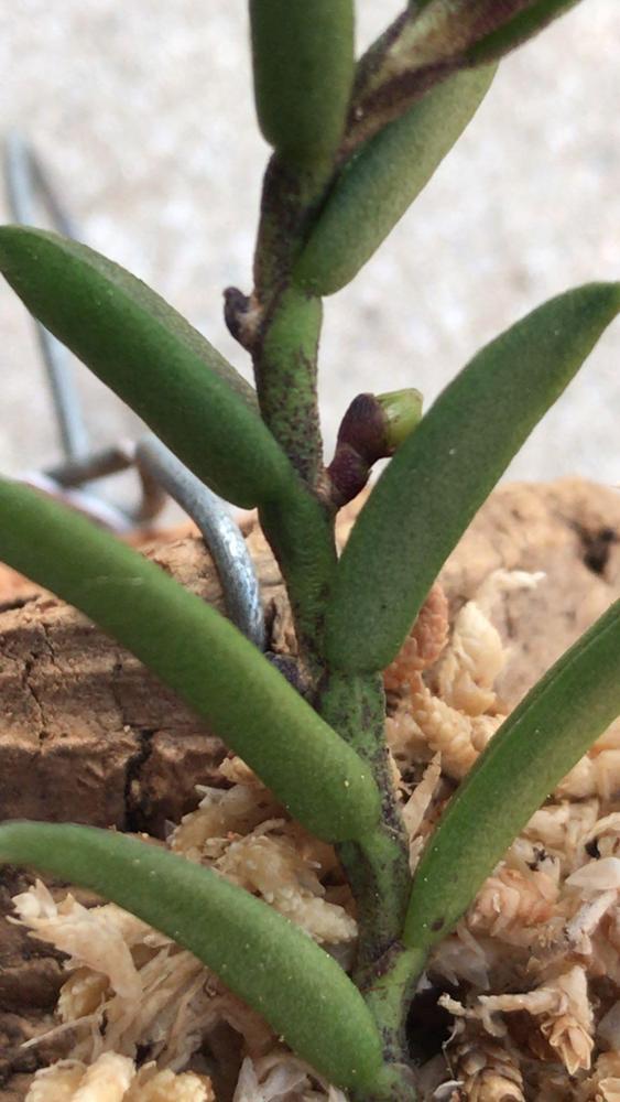 Ceratochilus biglandulosus