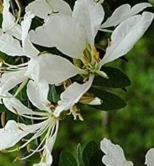 BAUHINIA BOWKERI